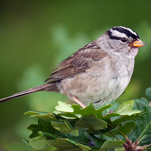 White-crowned Sparrow | dparis